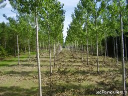 Plantation Pin Laricio et Peuplier 45 / 51