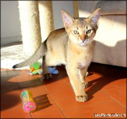 abyssin loof animaux chat gironde