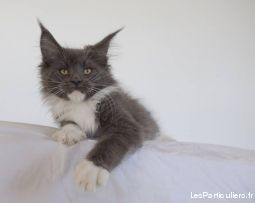 chatons maine coon loof animaux chat puy-de-d�me