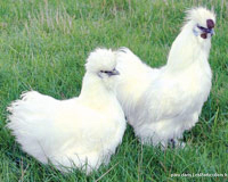 Poules pondeuses prtes pondre animaux maine et loire for Top 10 des poules pondeuses