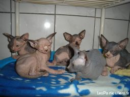 chatons nu sphynx animaux chat martinique