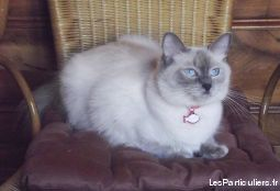chatons ragdolls loof animaux chat meurthe-et-moselle