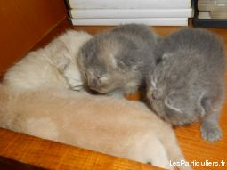 4 chatons type persan non loof a reserver animaux chat cher