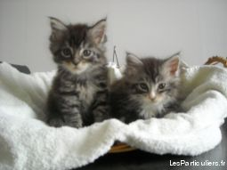 chatons type maine-coon animaux chat moselle