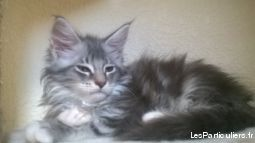 mainecoon chatons animaux chat pyr�n�es-orientales
