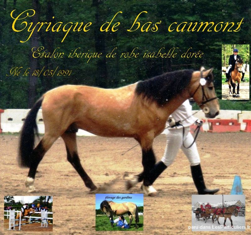 cyriaque étalon isabelle production oc animaux cheval poney seine-maritime