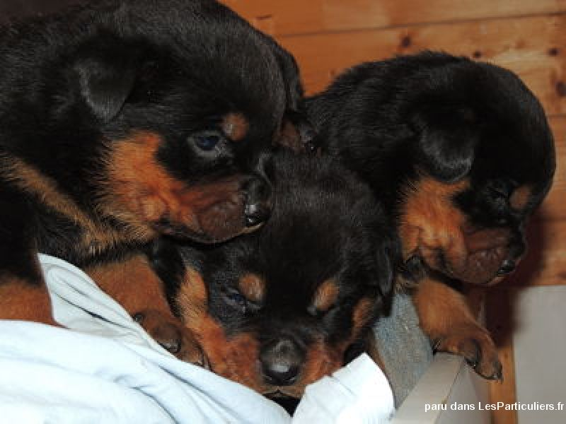 chiot rottweiler lof issus d 39 levage familiale animaux vaucluse. Black Bedroom Furniture Sets. Home Design Ideas