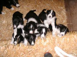 border collie animaux chien moselle
