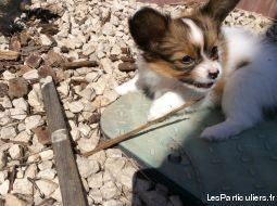 epagneul c. n. papillon animaux chien h�rault