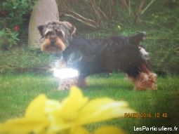 chien yorkshire animaux chien morbihan