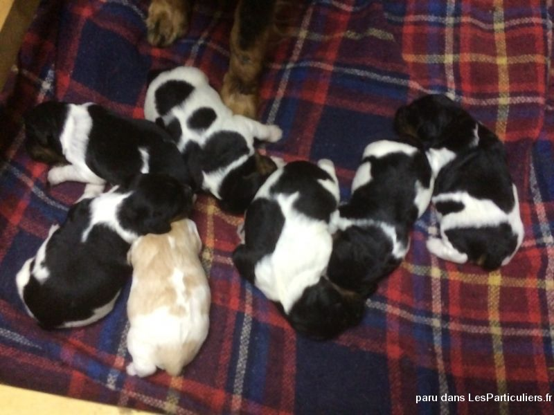 chiots epagneuls breton animaux chien gard