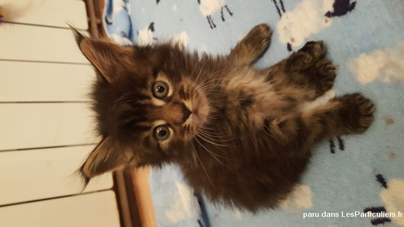 chatons maine coon loof animaux chat somme