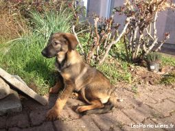 chiots type beauceron animaux chien tarn