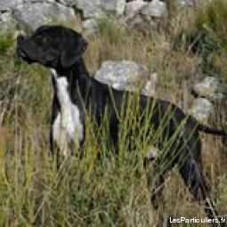 pointer anglais animaux chien alpes-maritimes