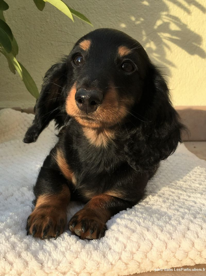 superbe teckel kaninchen poil long animaux chien corse