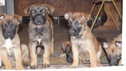 NICE - A r�server, Chiot LOF Berger Belge Malinois