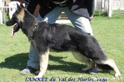 chiots berger allemands lof animaux chien nord