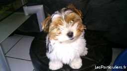 YORK TERRIER BIEWER TRICOLORE MALE