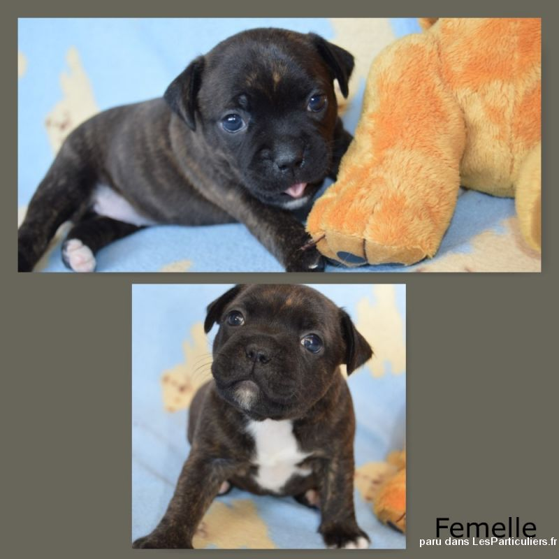 chiots staffordshire bull terrier (staffie) lof  animaux chien ain