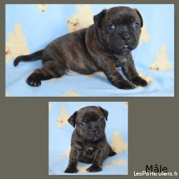 Chiots staffordshire bull terrier (staffie) LOF