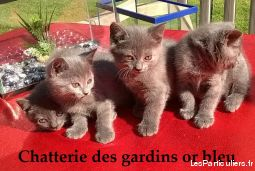 chatonne chartreuse loof dispo mi septembre animaux chat seine-maritime