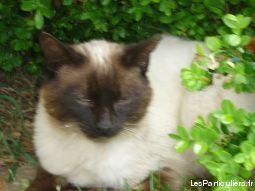 siamois animaux chat loire