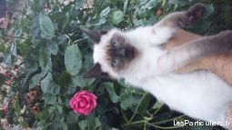 chaton femelle siamoise pure race animaux chat loire