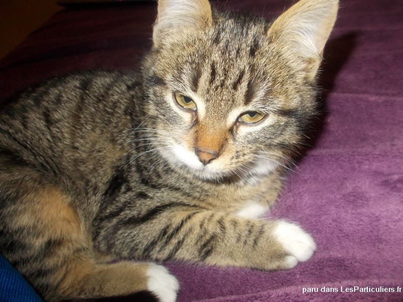 chatte perdu animaux chat loire