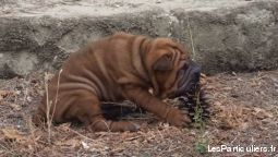 ADORABLE CHIOTS SHAR-PEI