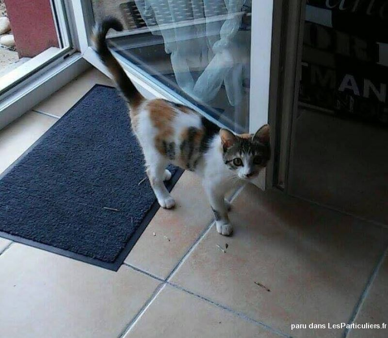 perdue petite chatte tricolore animaux chat gironde
