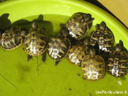 juv�niles tortues hercegovenensis  de l'�t� 2016 animaux autres bas-rhin