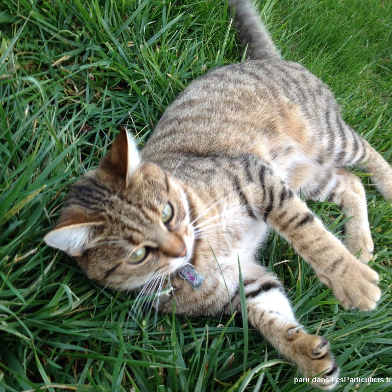 perdu indy animaux chat loiret