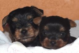 chiot yorkshire terrier a adopter animaux chien haute-garonne