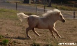 poney shetland mini animaux cheval poney allier