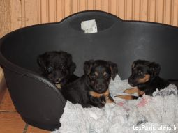 chiots type yagdterrier a adopter animaux chien cher