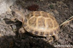 tortues des steppes (agrionemys horsfieldii)  animaux autres seine-maritime