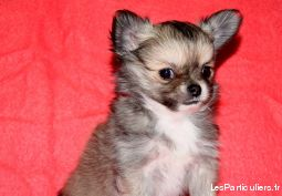 adorable chiot mâle chihuahua poil long animaux chien isère