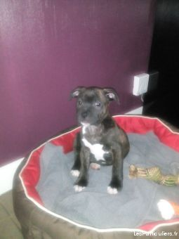 stafforshire bull terrier lof animaux chien val-d'oise