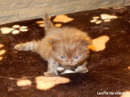 chatons bristish animaux chat moselle