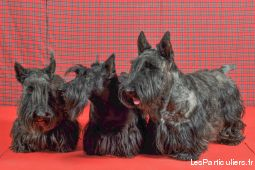 chiots scottish terrier  animaux chien eure