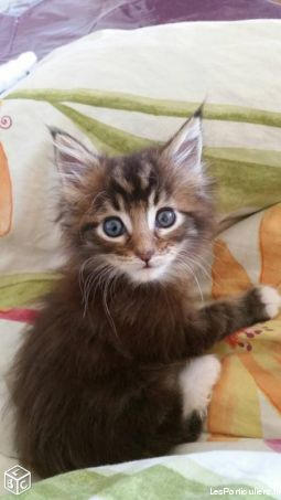 chatons maine coon loof animaux chat yvelines