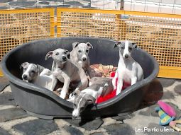 chiots whippet animaux chien mayenne