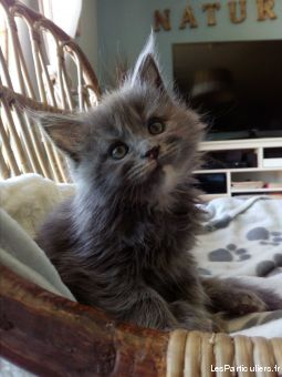 magnifiques chatons aine coon loof animaux chat indre