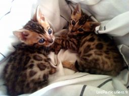 chatons bengal loof animaux chat nord