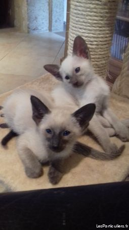 chatons siamois grandes origines animaux chat gironde