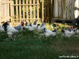 poule de race sussex grande race  animaux oiseau aisne