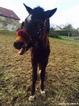 poulain oc, 3ans.  animaux cheval poney marne
