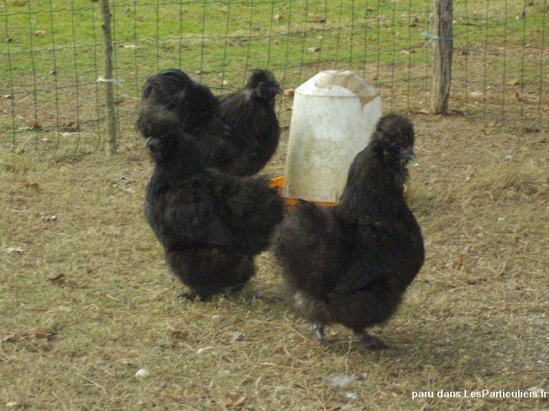 poule soie vendee