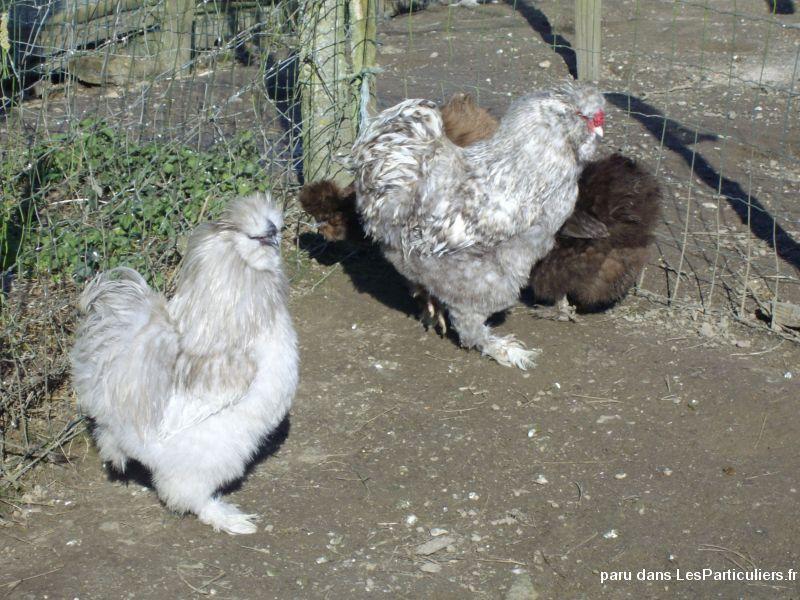 poule soie ille et vilaine