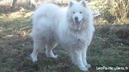 saillie samoyede lof animaux chien cantal